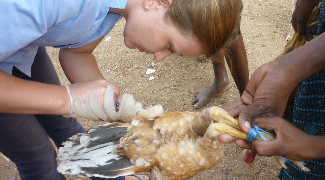 A Projects Abroad volunteer is helping with a small clinical procedure during her veterinary medicine internship in Ghana.